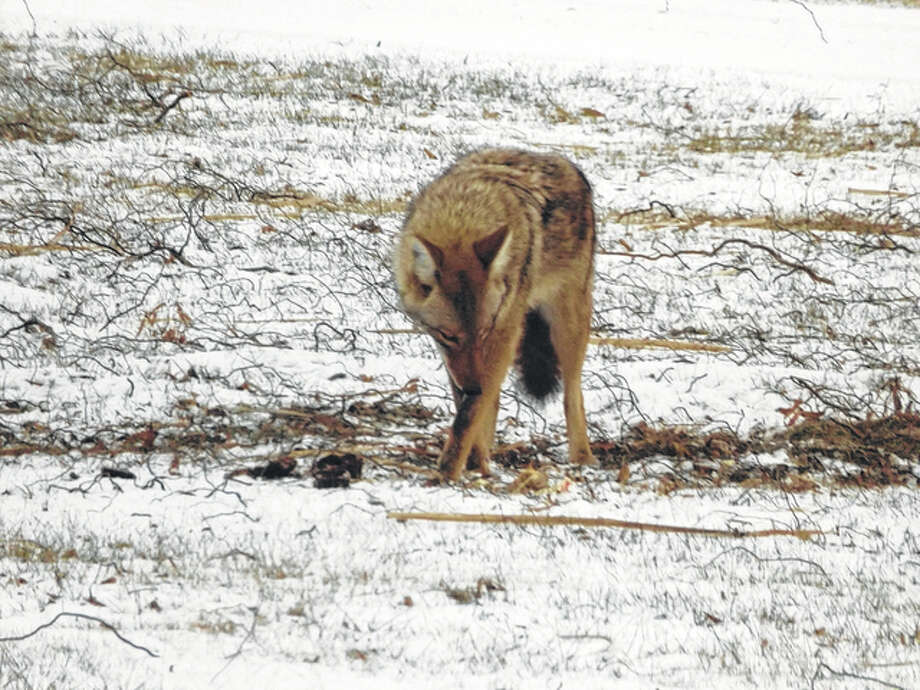 A coyote searches the ground under a bird feeder in hopes of finding something to eat.