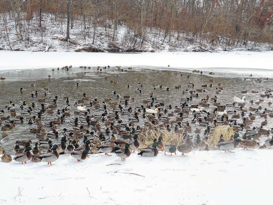 A raft of ducks seems ambivalent to the chilly temperatures while swimming in Washington Park in Springfield.