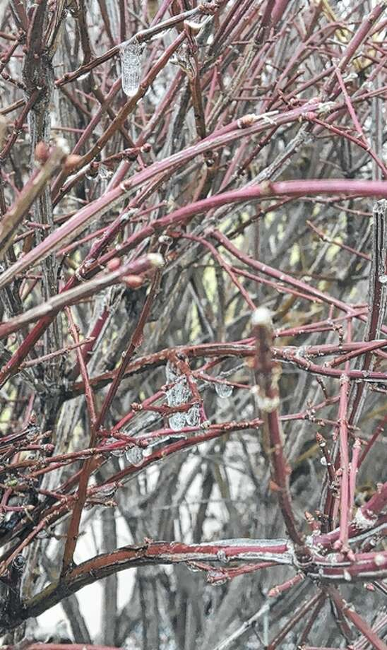 Water freezes on a bush. Photo: Joy Harris | Reader Photo