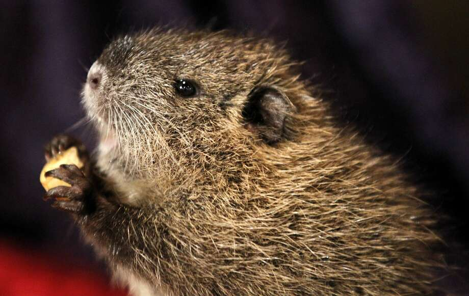 Nutria, which can grow to be 20 pounds, are incredibly destructive. Photo: Gerald Herbert, Associated Press