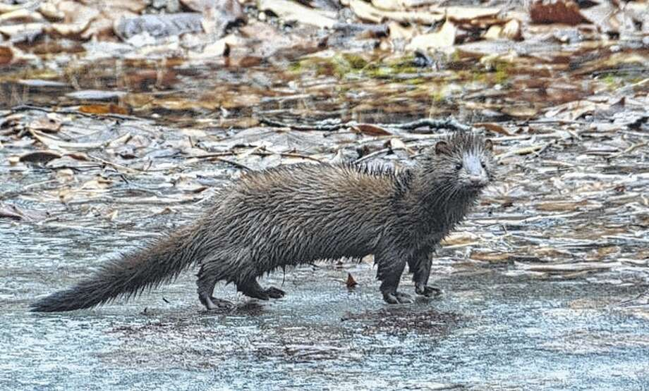 A mink forages for food in the creek crossing south of Waverly. Photo: Kathy Caruthers | Reader Photo