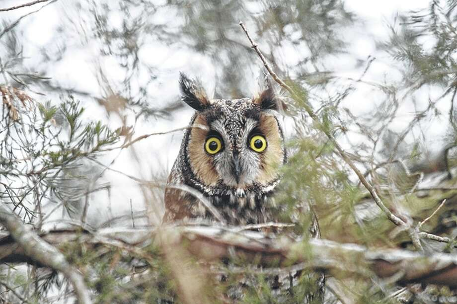 A rare long-eared owl pays a visit to southwestern Morgan County last week. Photo: Colin Dobson | Reader Photo