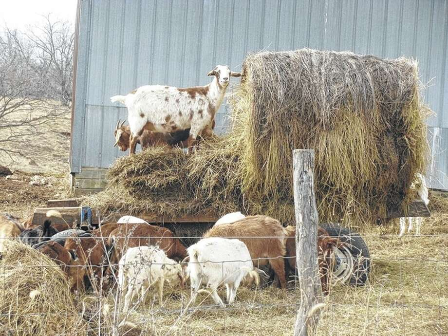 Feeding time arrives for goats in rural Macoupin County. Photo: Beverly Watkins | Reader Photo