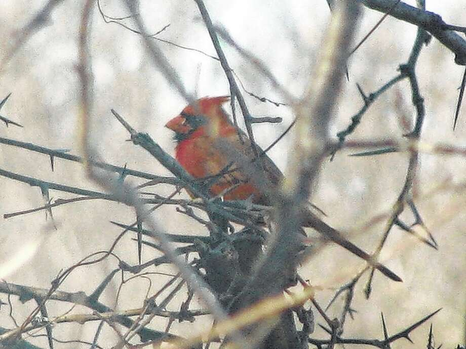 A red bird provides a splash of color among the wintry branches of a tree.