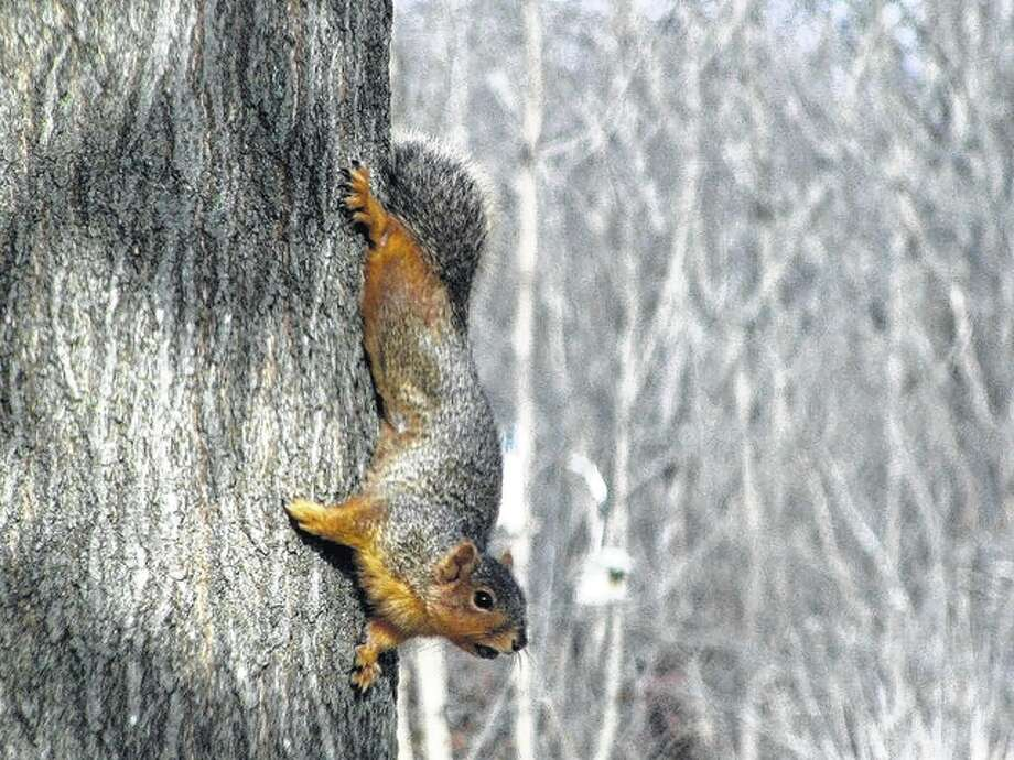 A squirrel scampers down a tree trunk in Scottville. Photo: Beverly Watkins | Reader Photo