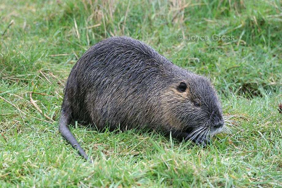 Nutria Crackdown California Looks To Eradicate Ruinous Rodent Before It Tears Up State San