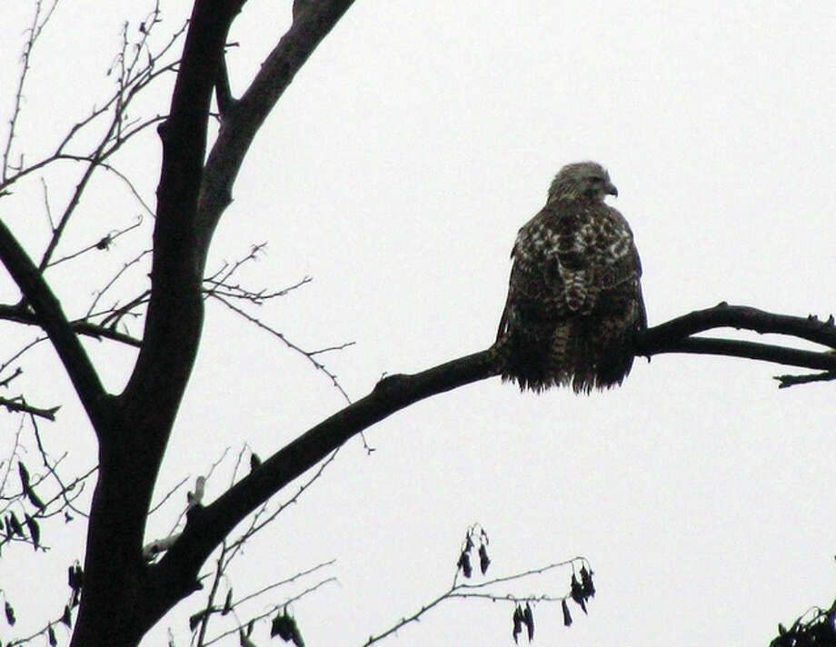 A hawk perches on a tree branch in rural Greene County. Photo: Beverly Watkins | Reader Photo