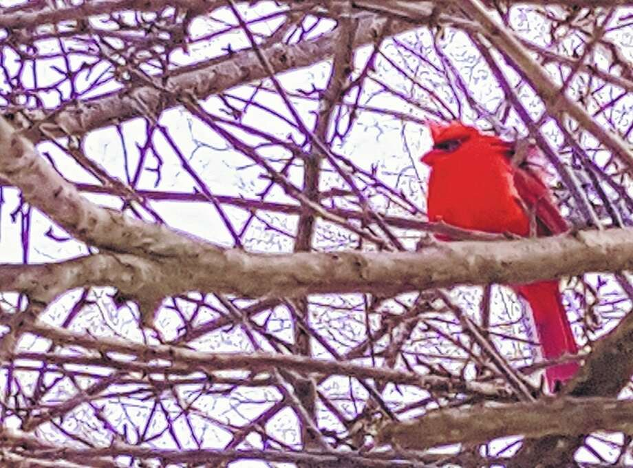 A cardinal brings a splash of pre-Valentine's Day red to the gray winter landscape.