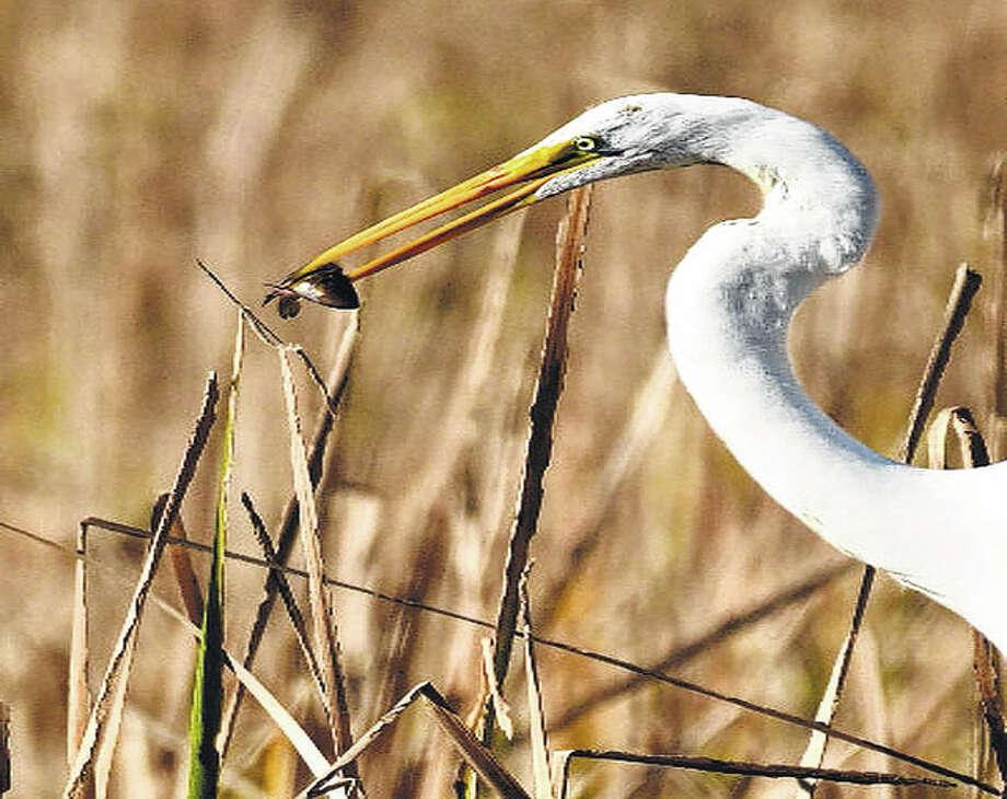 A heron snags a tiny fish.