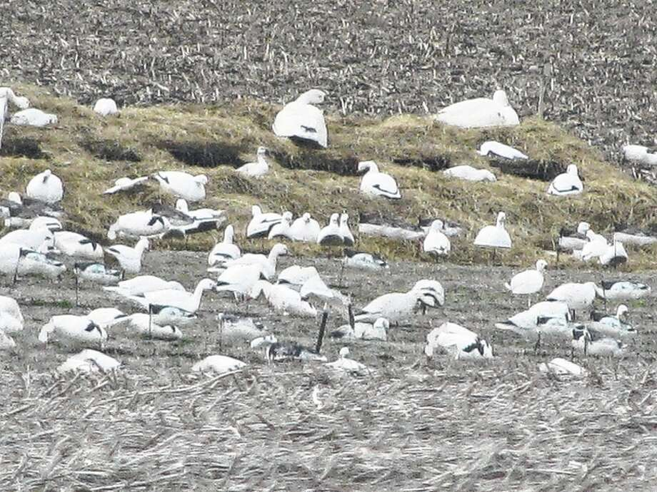 Snow geese nearly blanket a field in rural Greene County.
