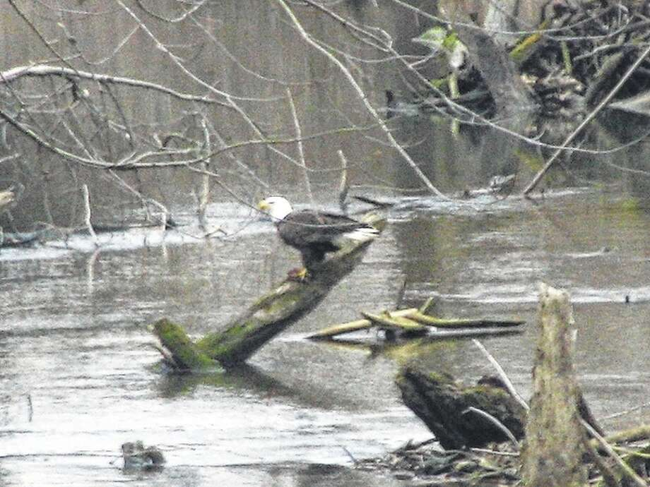 An eagle looks out over a creek west of Scottville. It was waiting patiently on a log for food to come along. Photo: Beverly Watkins | Reader Photo