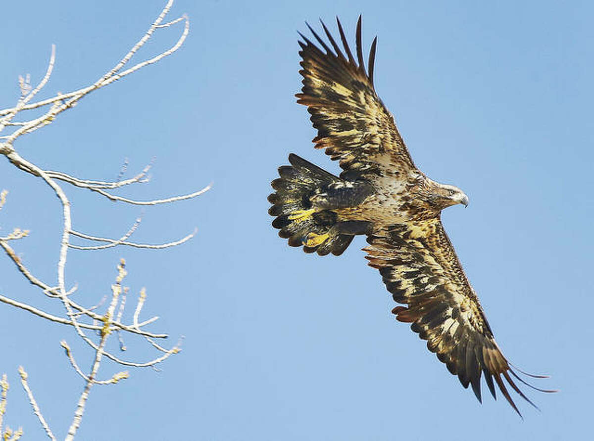 An immature bald eagle, who does not yet have his full head of white feathers, stretches his wings last month in the Lincoln-Shields Recreation Area in West Alton, Missouri.