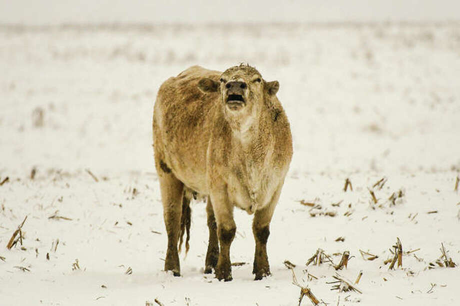 A cow in a field near Waverly seems to have something to say about the cold weather and snow.