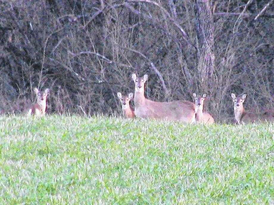 A group of deer turn their attention to a passing motorist north of Scottville. Photo: Beverly Watkins | Reader Photo