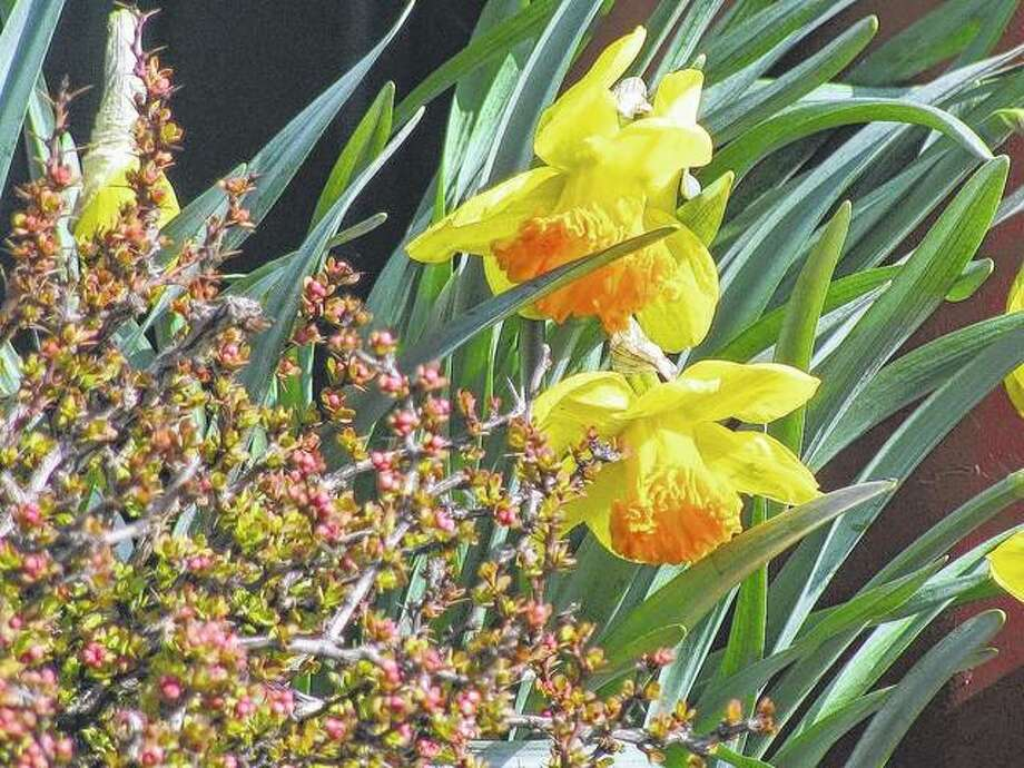 Colorful jonquils start blooming in Scottville.