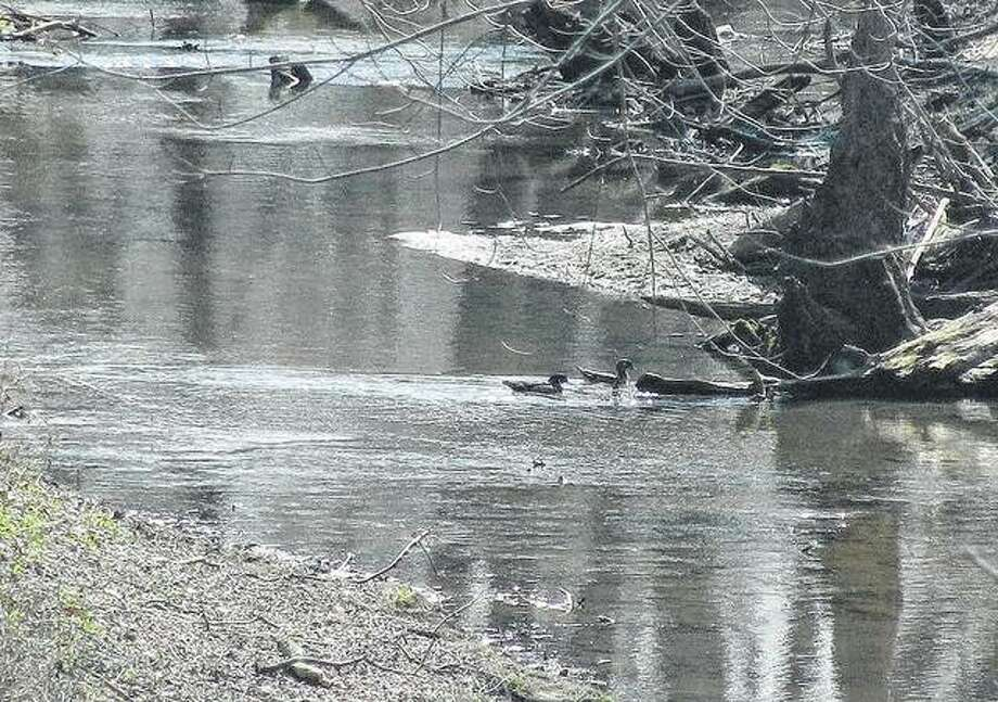 Two wood ducks blend into their surroundings while swimming in a creek near Scottville.