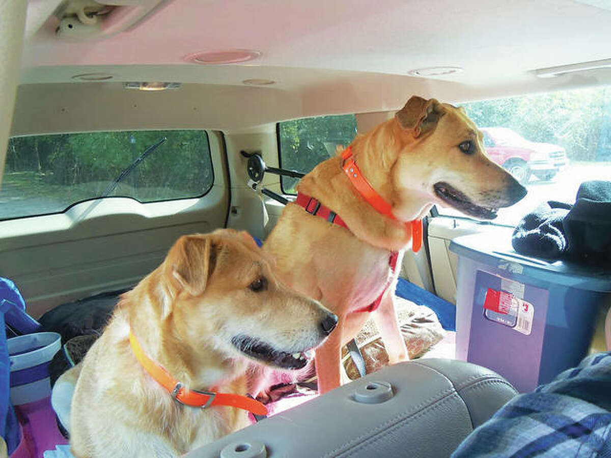 """The entire 5A's staff, who worked Monday morning, came outside to say, """"'Bye girls"""" to Izzie and Thora,as they waved and smiled at the canine couple. The pair of sisters, which are golden retrievers and nearly 6 years old, jumped right into Bryce and Ruth Mabon's van."""