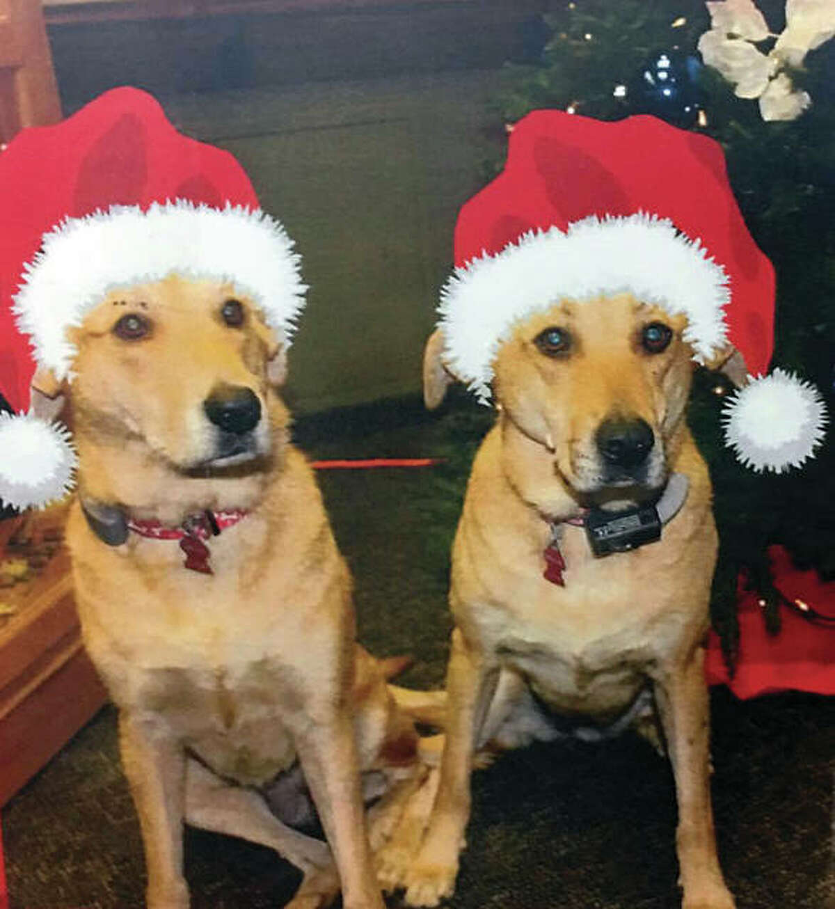 Canine sisters, golden retrievers Thora and Izzie, from 5A's in Godfrey, Illinois, are thriving at the Minnesota Veterans Home in Luverne, Minnesota, where they are pictured and veterans and staff have embraced the pets for comfort and companionship.