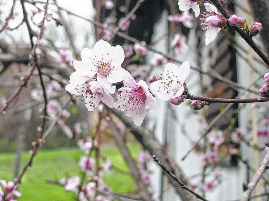 Peach blossoms in bloom fill a yard in Scottville.