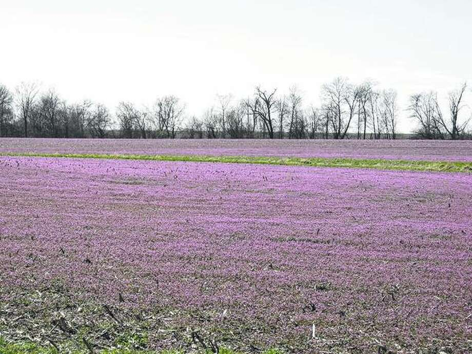 Henbit creates a purple tint on a field. Henbit is an edible herb that is part of the mint family and is sometimes used in soups and salads. Photo: Gary Glaenzer | Reader Photo