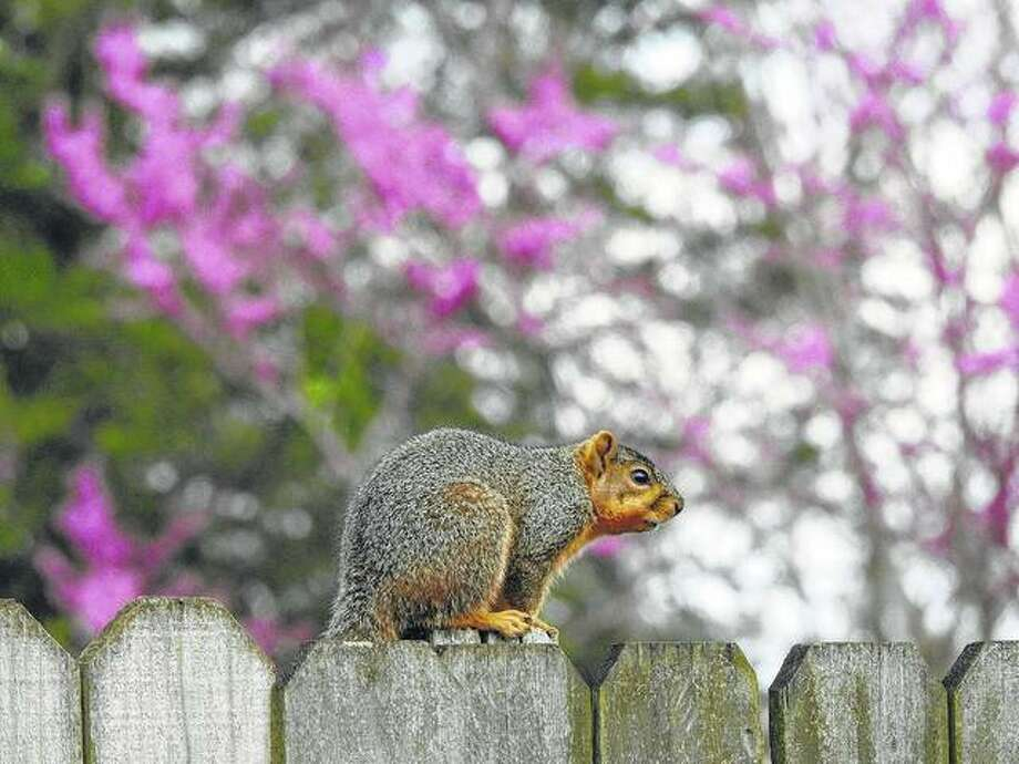 A squirrel makes its way across the top of a fence.