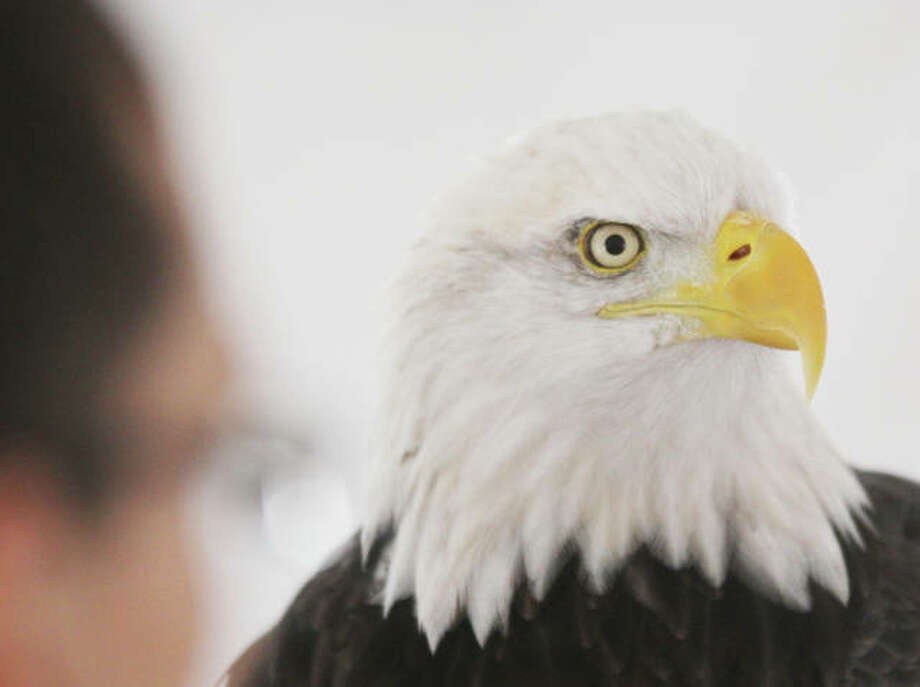 McGuire, a bald eagle from the World Bird Sanctuary, looks around as naturalist Josh Suich talks to students from Bethalto's Zion Lutheran School during an educational program Friday as part of Eagle Days at the Old Chain of Rocks Bridge. The event will be open to the public from 9 a.m. to 3 p.m. Saturday and Sunday, and include live eagle demonstrations by the World Bird Sanctuary, a chance to view bald eagles in the wild, and other activities. Photo: Photos By Scott Cousins | The Telegraph