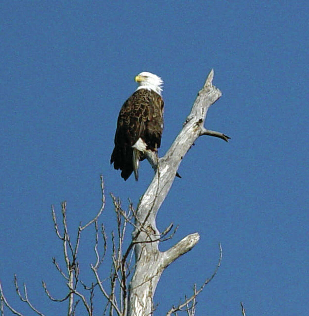 A lone eagle at the tip-top of a tree, just across the river in the Missouri wetlands.