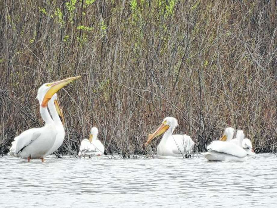 A group of pelicans visit Lake Mauvaisterre as they migrate north.
