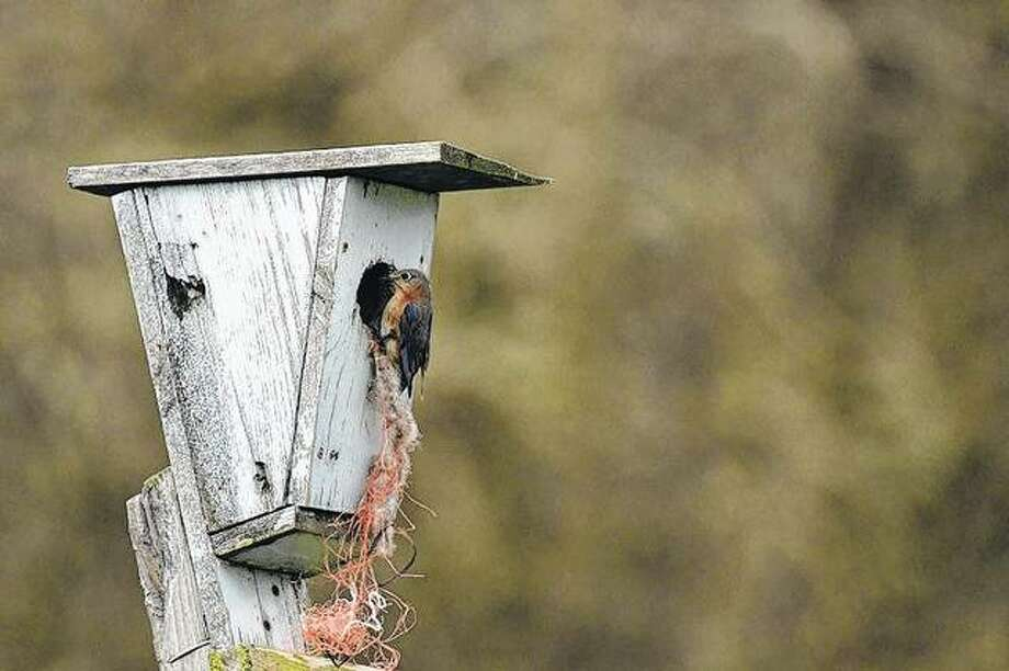 A bluebird gets ready for a fresh nest in Waverly. Photo: Kathy Caruthers | Reader Photo
