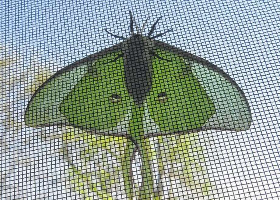 A nocturnal luna moth rests on the outside of a second-story window screen at a house in rural Greenfield.