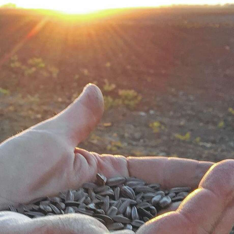 Sunflower seeds rest in a farmer's hand, waiting to be planted. Photo: Joy Harris | Reader Photo