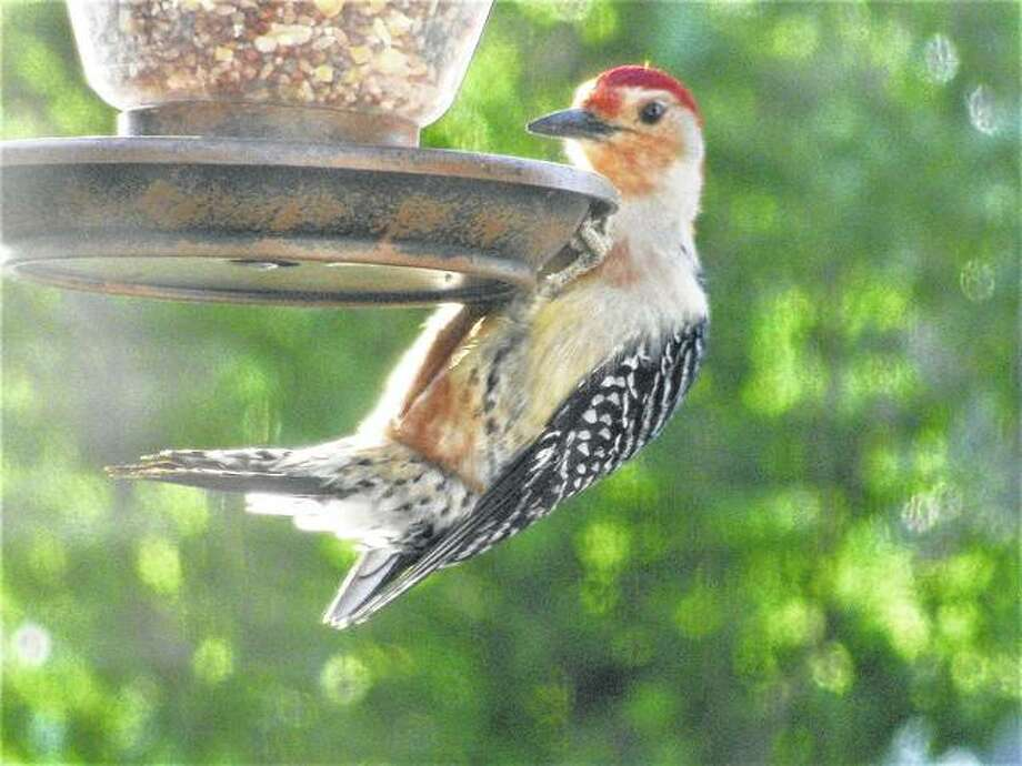 A large woodpecker enjoys seeds from a feeder in Scottville. Photo: Beverly Watkins   Reader Photo