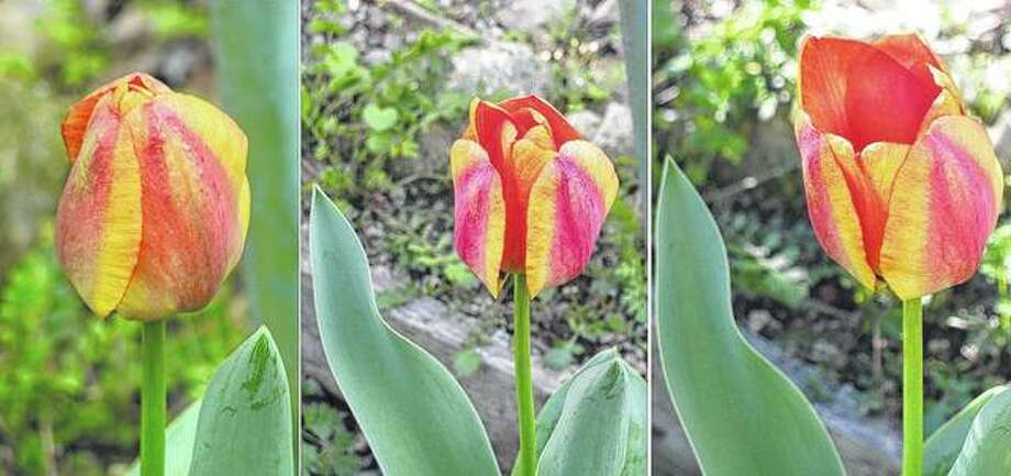 A series of photos captures a tulip as it buds and blooms in a flower bed in Scottville. Photo: Beverly Watkins | Reader Photo