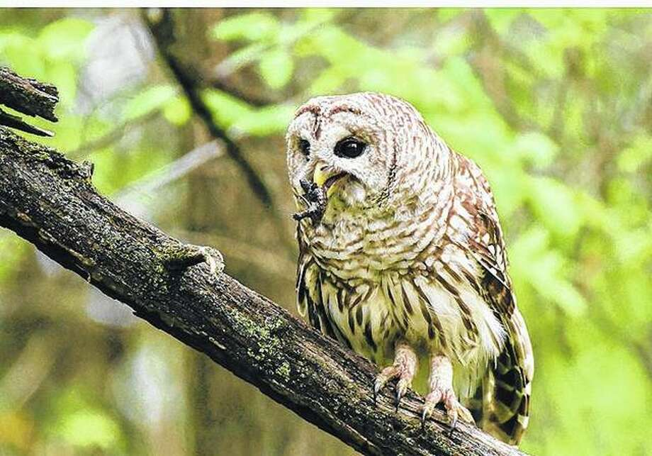 An owl takes a lunch break near Waverly. Photo: Kathy Caruthers | Reader Photo