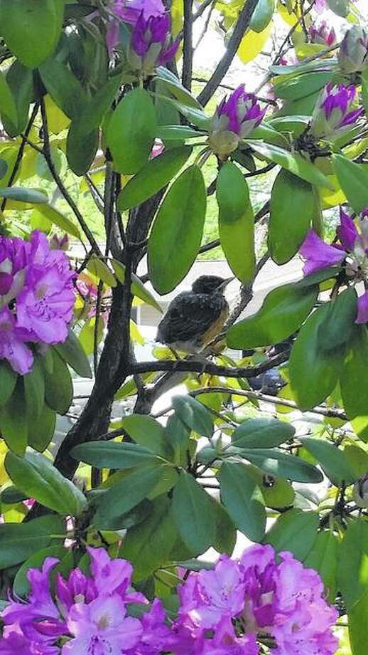 A robin in a rhododendron gathers courage for its first flight in White Hall. Photo: Ruth Vestel | Reader Photo