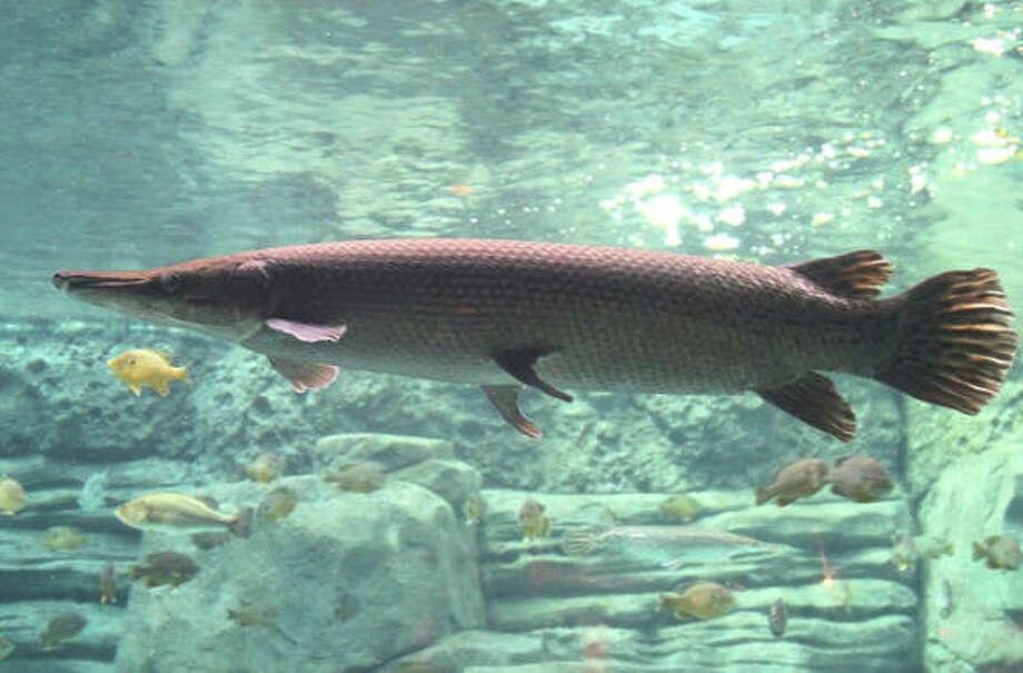 Alligator gar - Atractosteus spatula