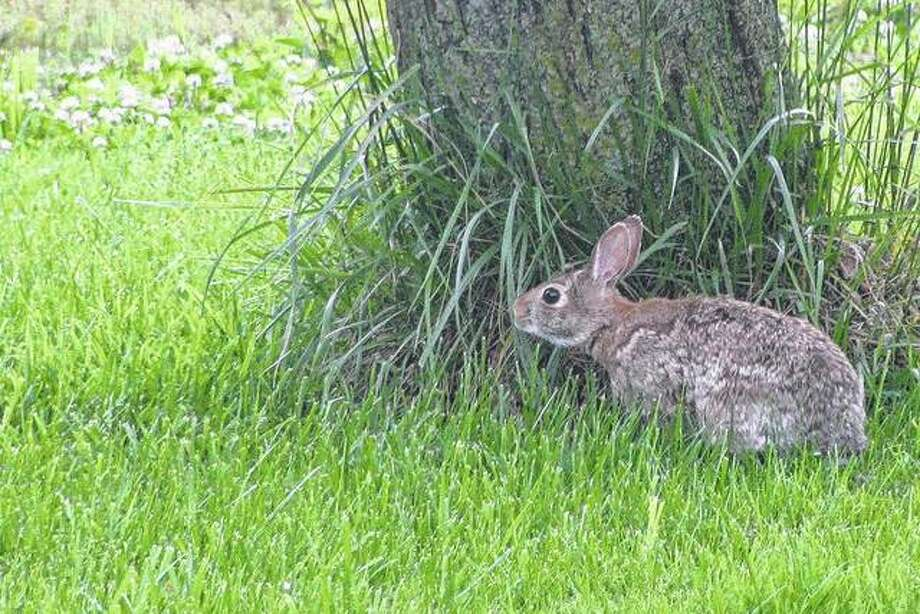 A rabbit finds a shady spot to relax for the afternoon.