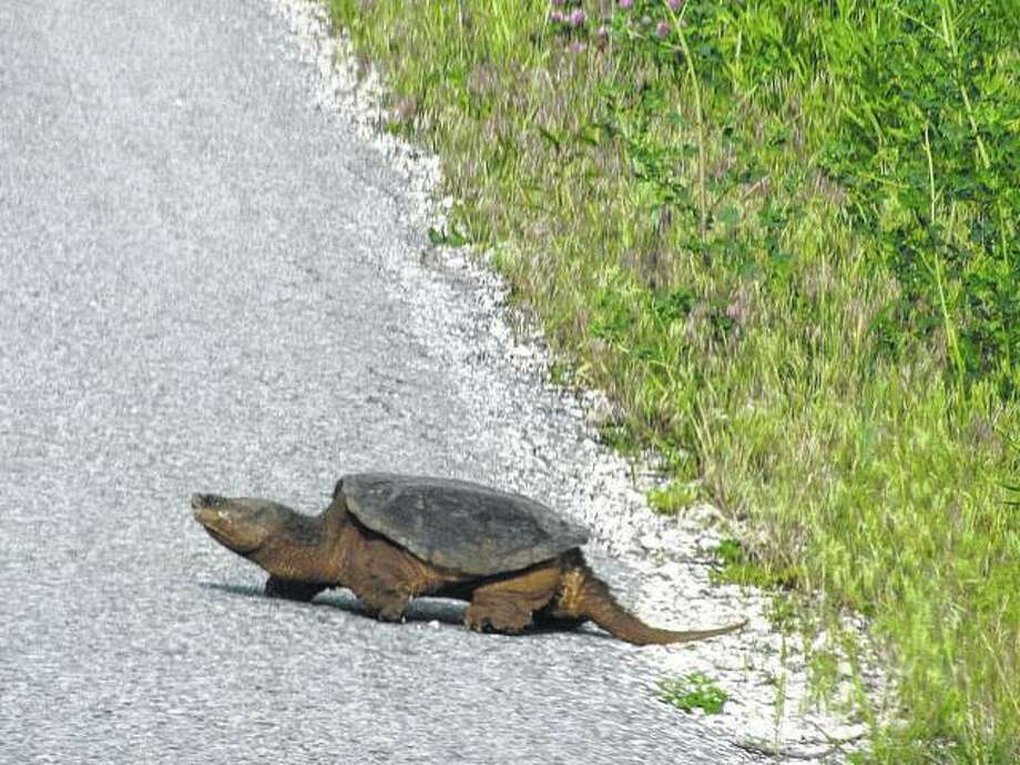 A large turtle comes up from a small creek and crosses the road in rural Greene County. Photo: Beverly Watkins | Reader Photo