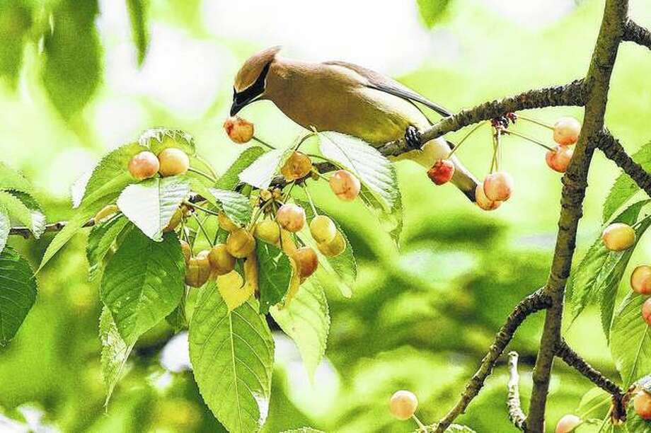 A cedar waxwing enjoys the fruits of a cherry tree. Photo: Kathy Caruthers | Reader Photo