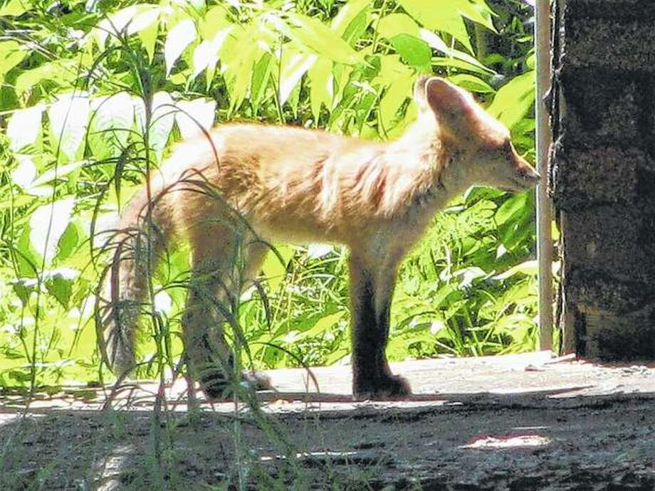 A fox visits an old house in Scottville. Photo: Beverly Watkins | Reader Photo