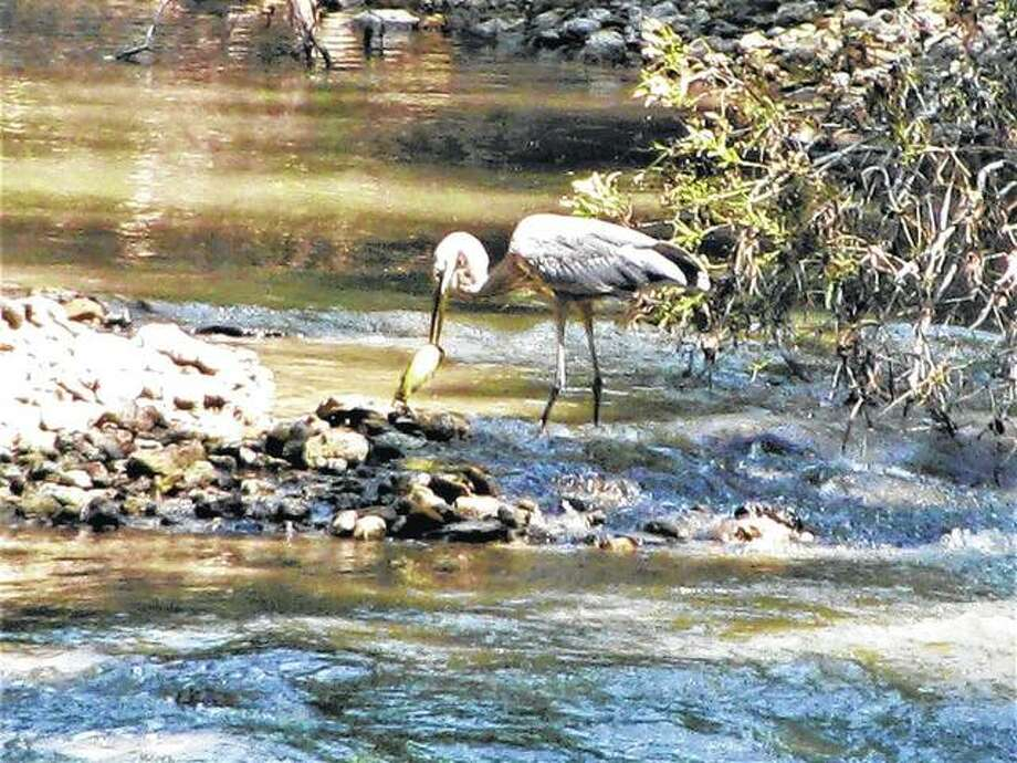 A blue heron fishes in Apple Creek, north of Scottville. After eating a fish, it took off again. Photo: Beverly Watkins | Reader Photo