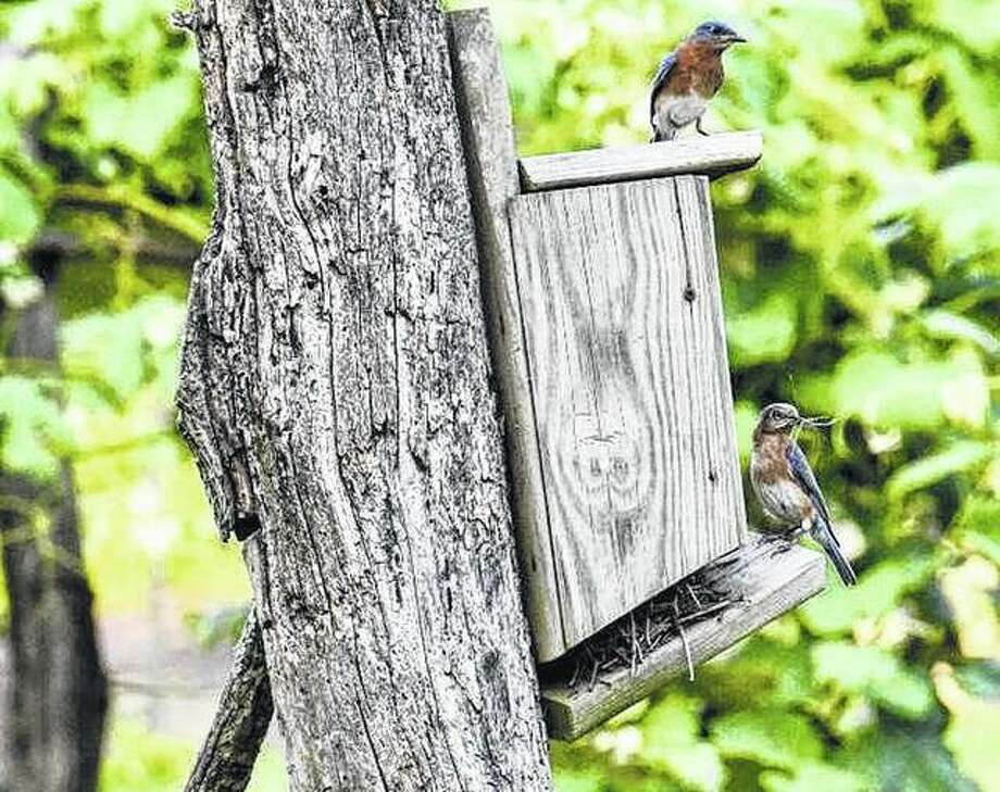A pair of bluebirds build a nest near Waverly. Photo: Kathy Caruthers | Reader Photo