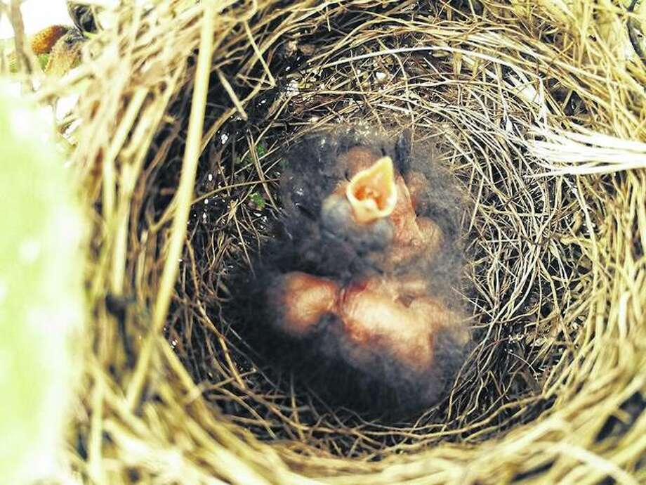 "For Mother's Day, reader Jeff Weiss sent a photo from his house of a nest with newborn robins in it. ""Well, this is kind of incredible, but we now have wrens in the same rose bush,"" he said. These newborn birds are in a bush outside of Weiss's porch window in rural Arenzville. Photo: Jeff Weiss 