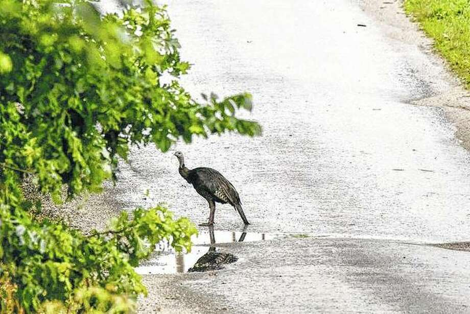 A rather damp hen turkey makes its way across the street and to a wooded area near Waverly. Photo: Kathy Caruthers | Reader Photo