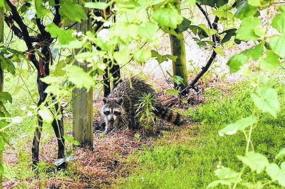 A young raccoon strolls through a vineyard in Waverly.