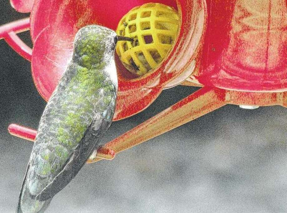 A hummingbird stops for a quick drink.