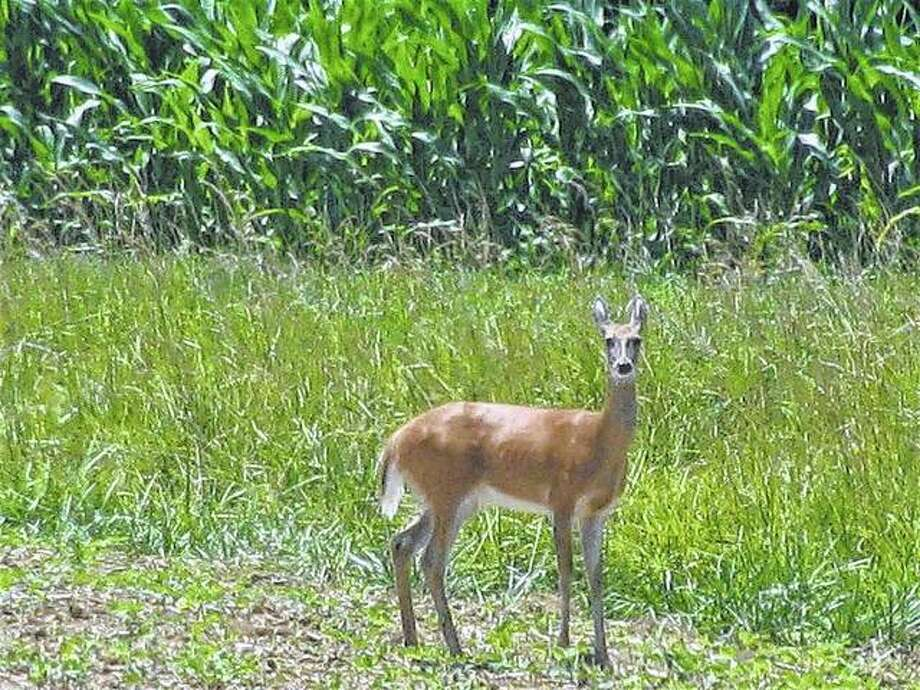 A deer stops and looks around before heading into a field in rural Macoupin County. Photo: Beverly Watkins | Reader Photo