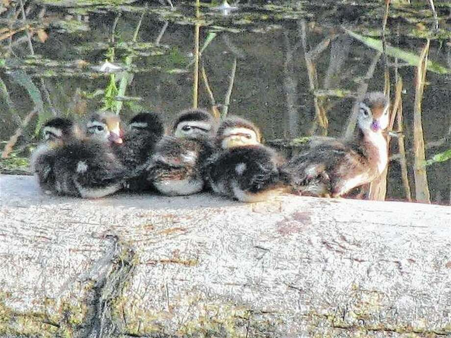 Baby ducks enjoy the view from a log in a water-filled ditch east of White Hall.