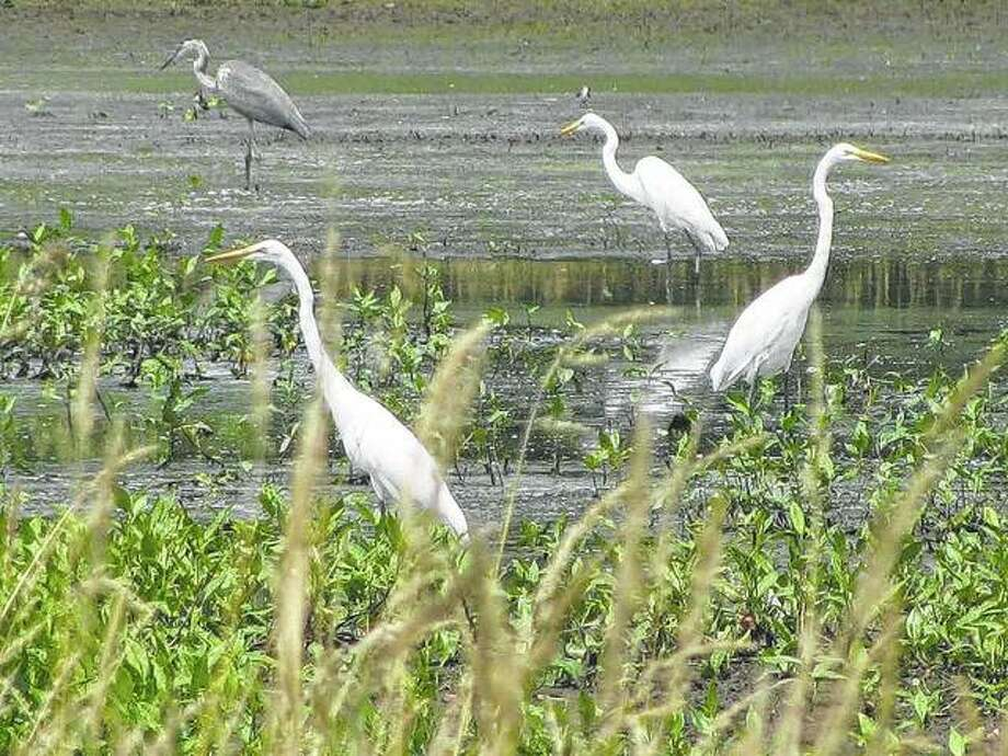 Herons and egrets gather in a marshy area in rural Greene County.