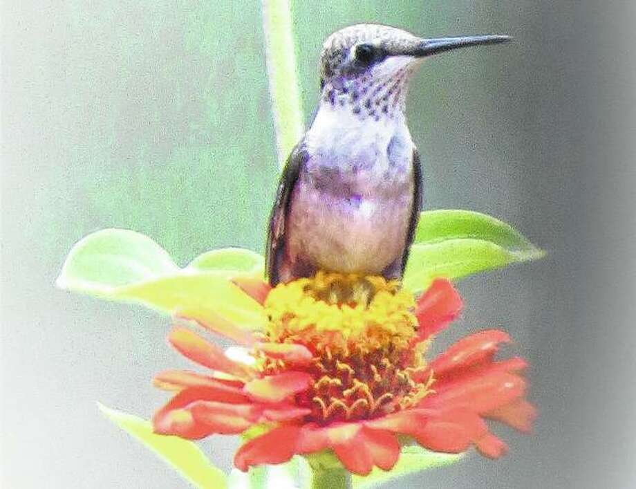 A hummingbird finds a just-right spot on a zinnia to rest.
